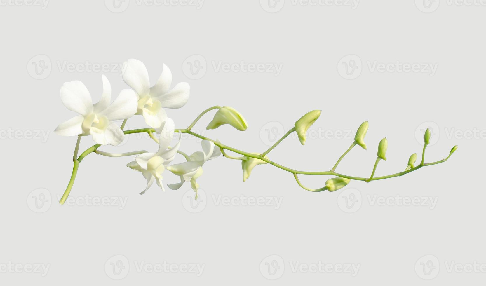 weiße Orchidee auf grauem Hintergrund, isoliertes Objekt foto