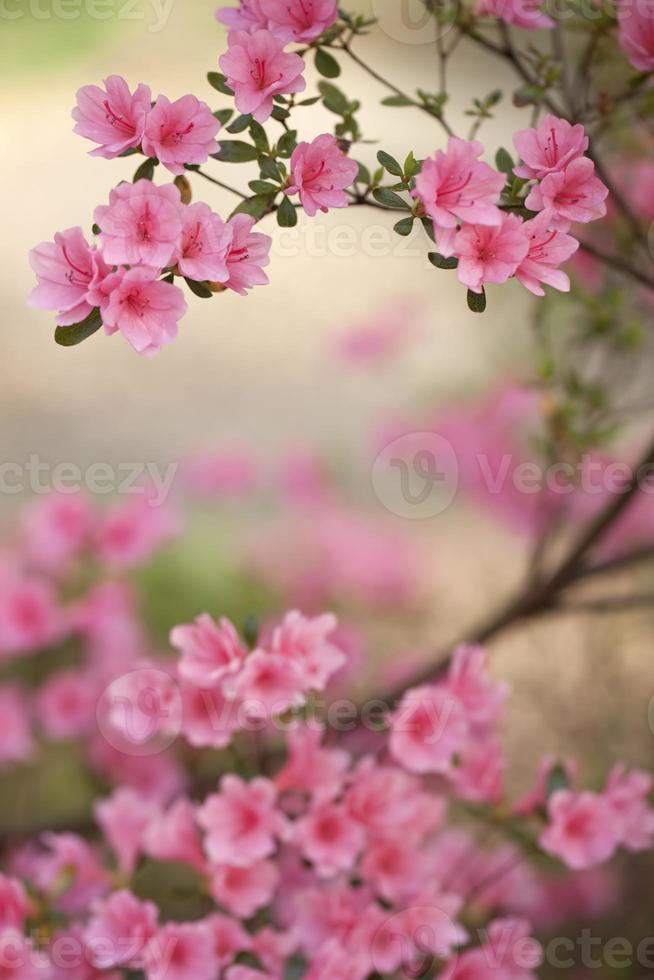 rosa Azaleenbusch foto