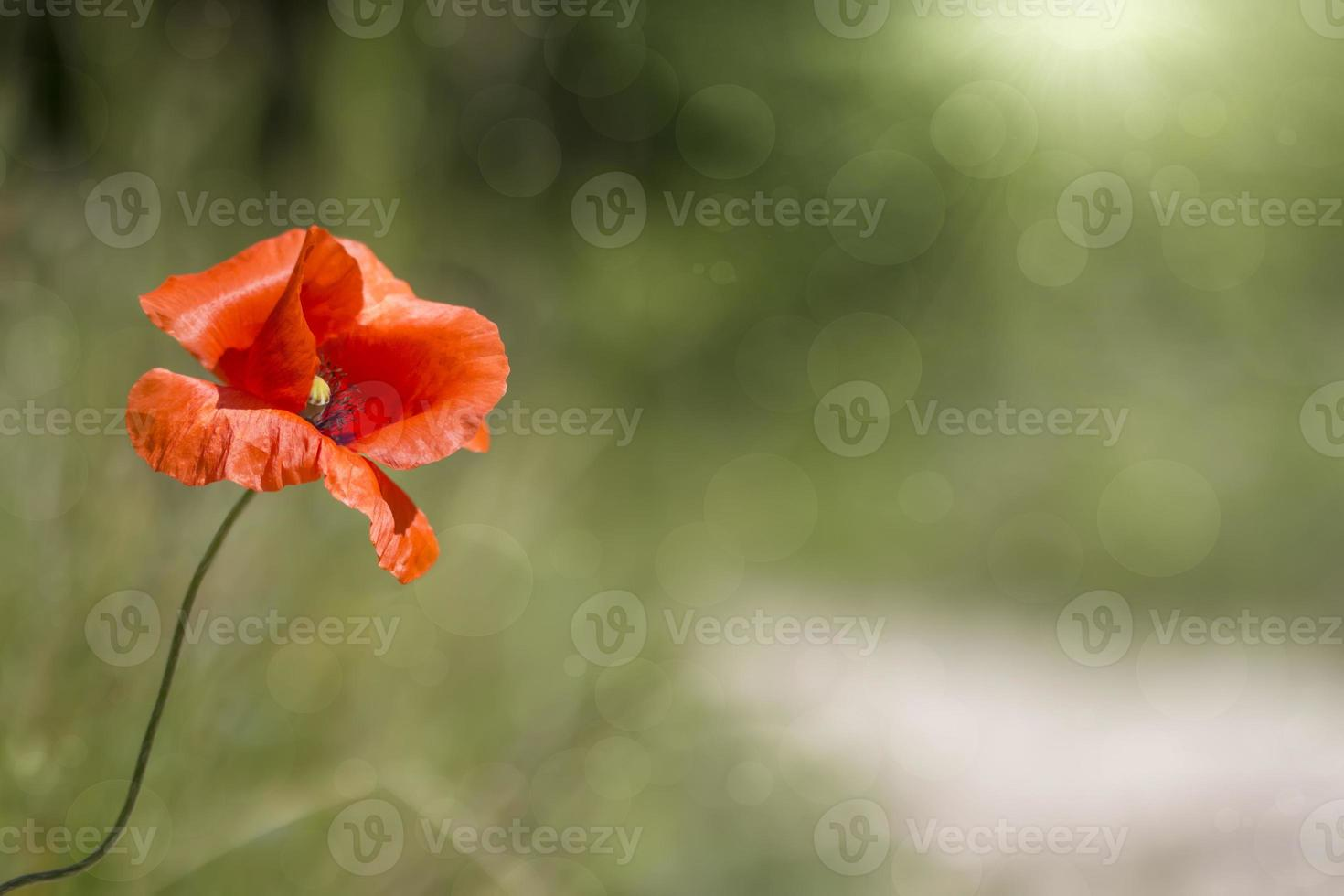 abstrakter Hintergrund mit wilder Mohnblume foto