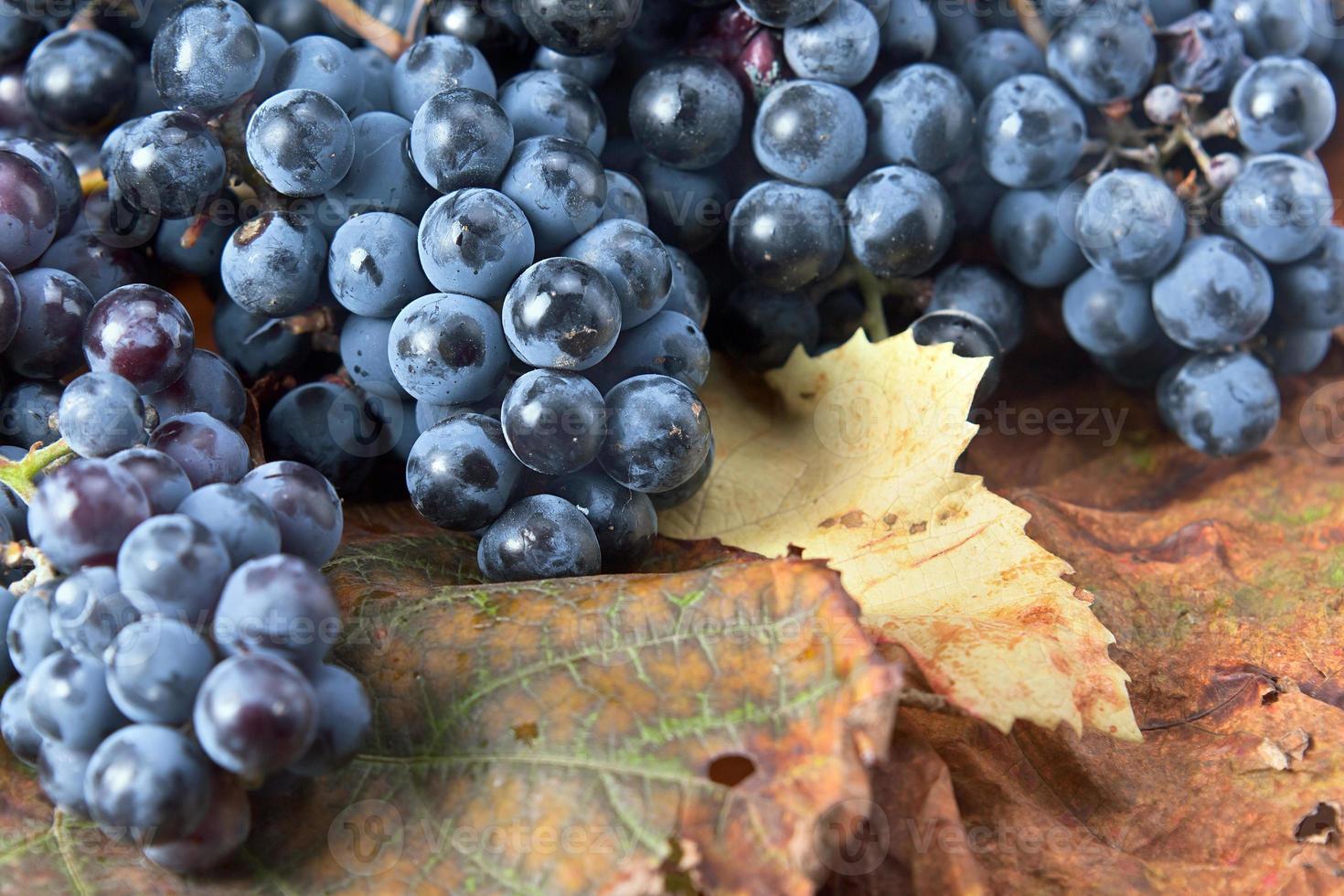 Ernte von Trauben für die Weinherstellung foto