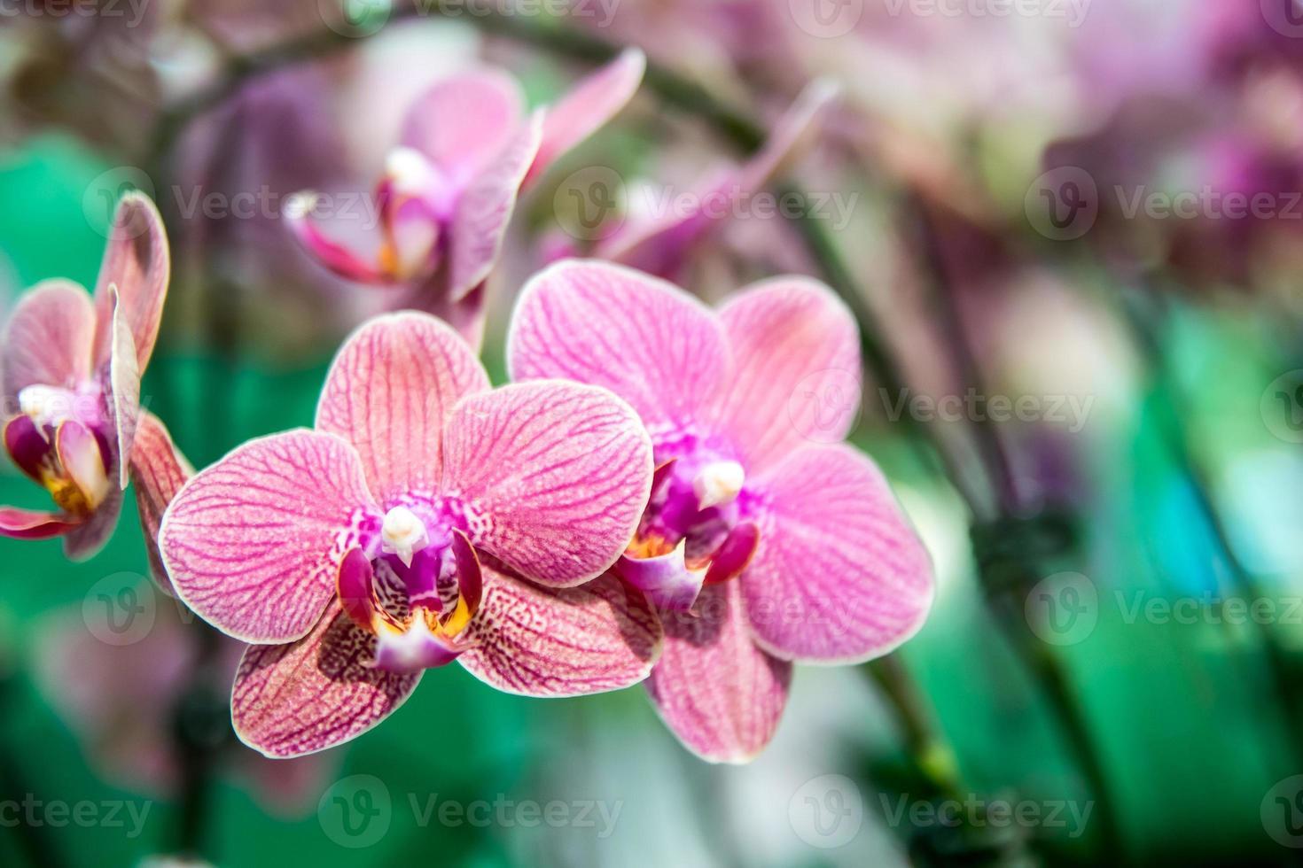 schöne thailändische Orchideenblume foto