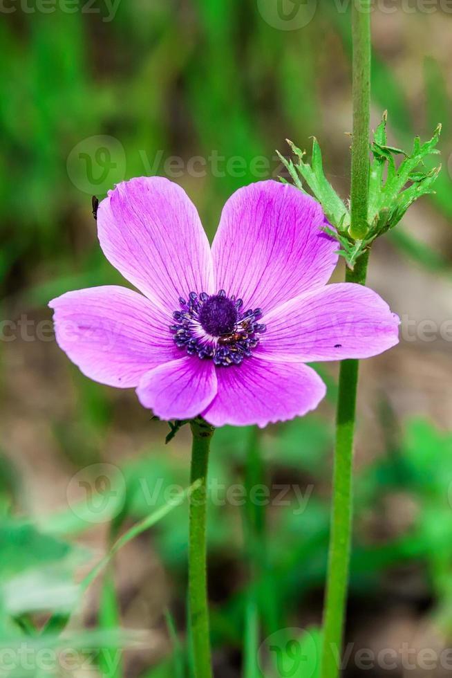 Anemonen-Coronaria foto