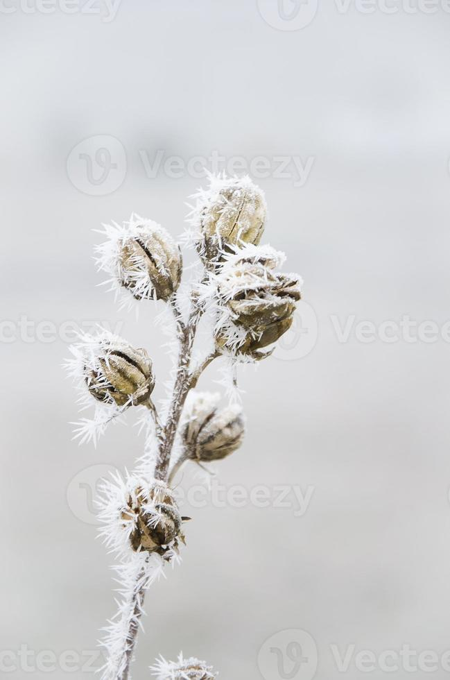 fleur seche en givre foto