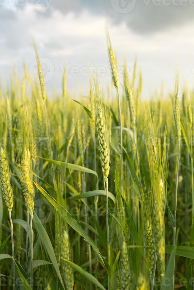 grüner Weizen unter dramatischem Himmel foto