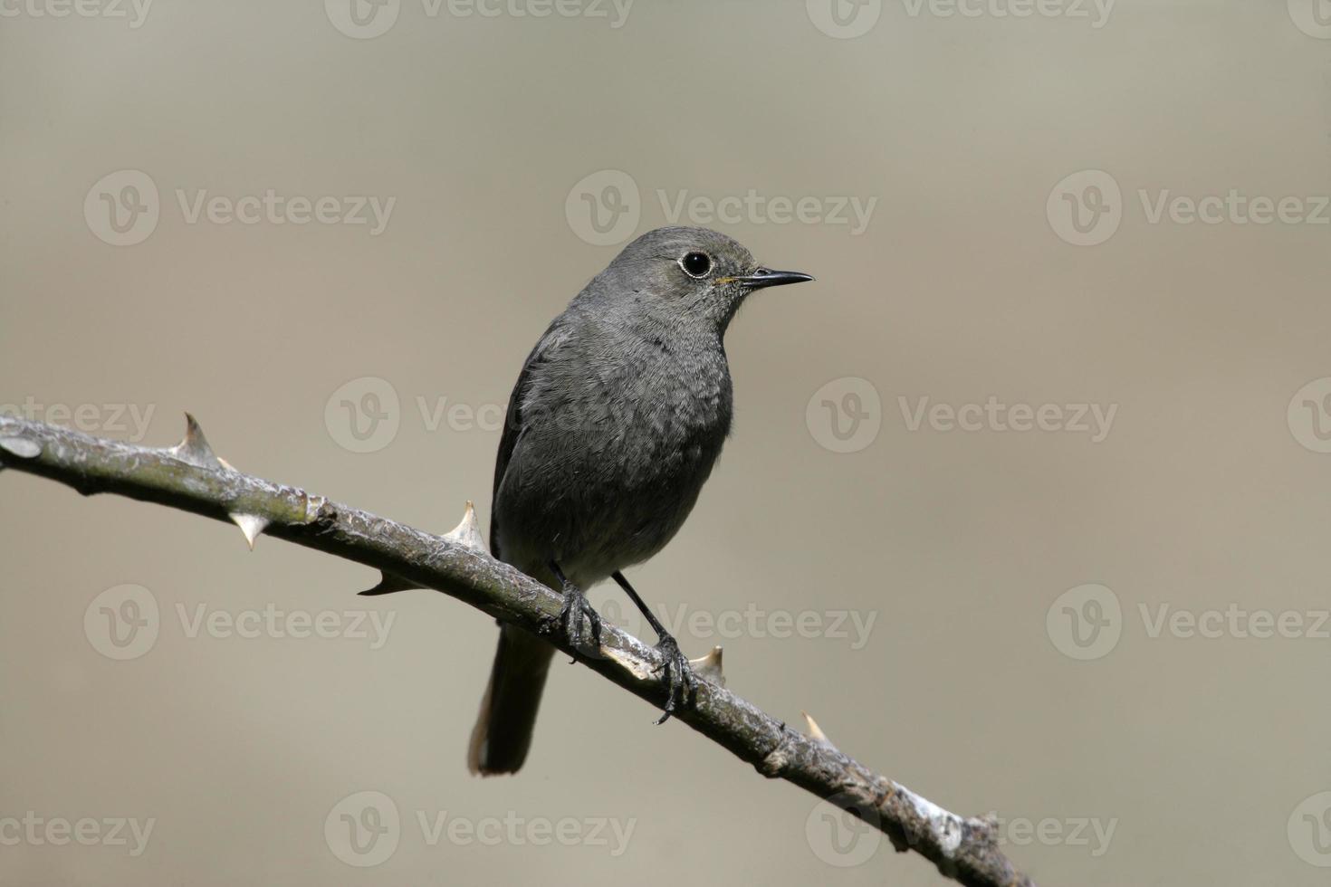 schwarzer Rotschwanz, Phoenixicus ochruros, foto