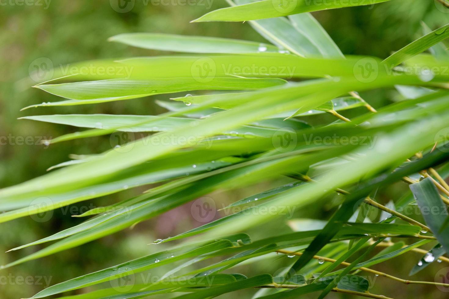 schöner grüner Bambusblätterhintergrund (unscharfer vorderer Fokus) foto