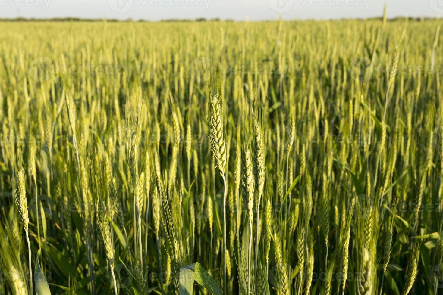grüner Weizen bei Sonnenuntergang foto
