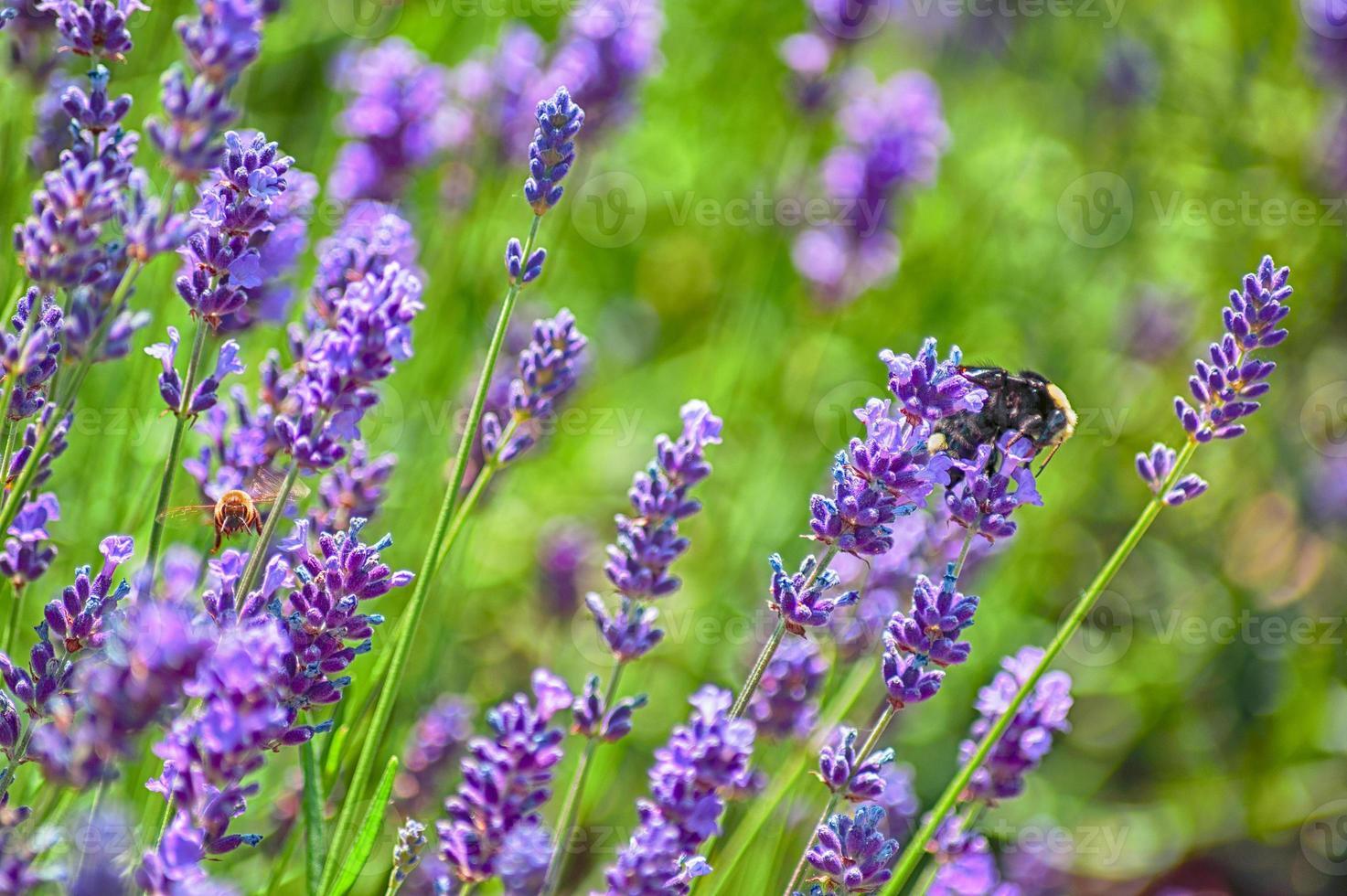 Nahaufnahme von zwei Bienen, die Lavendel bestäuben foto