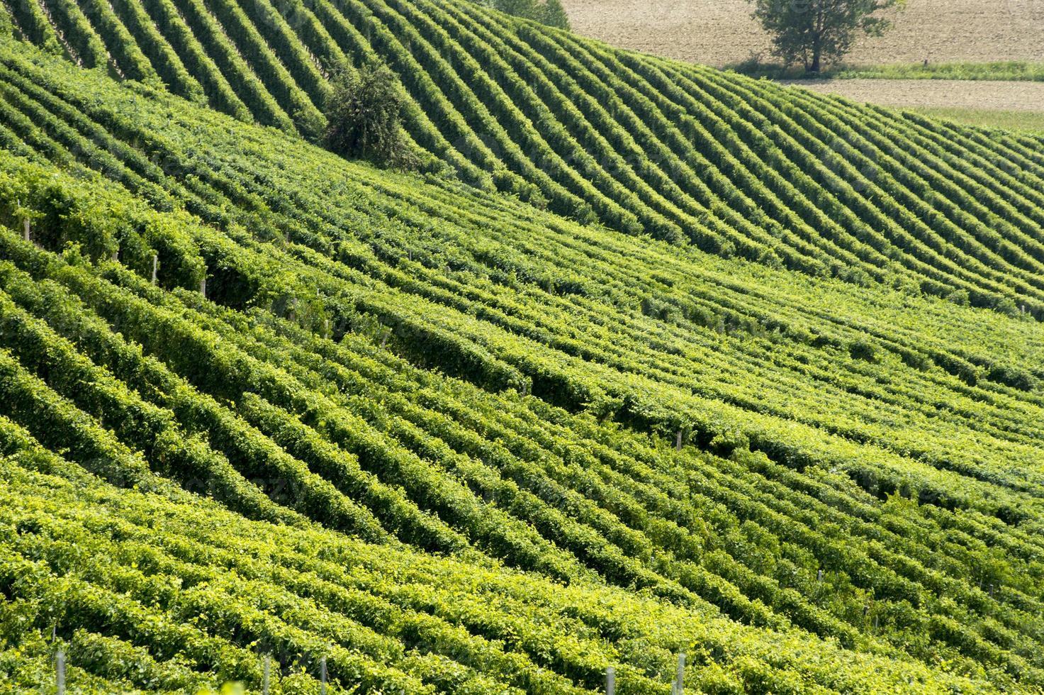 Hügel mit Weinbergen foto