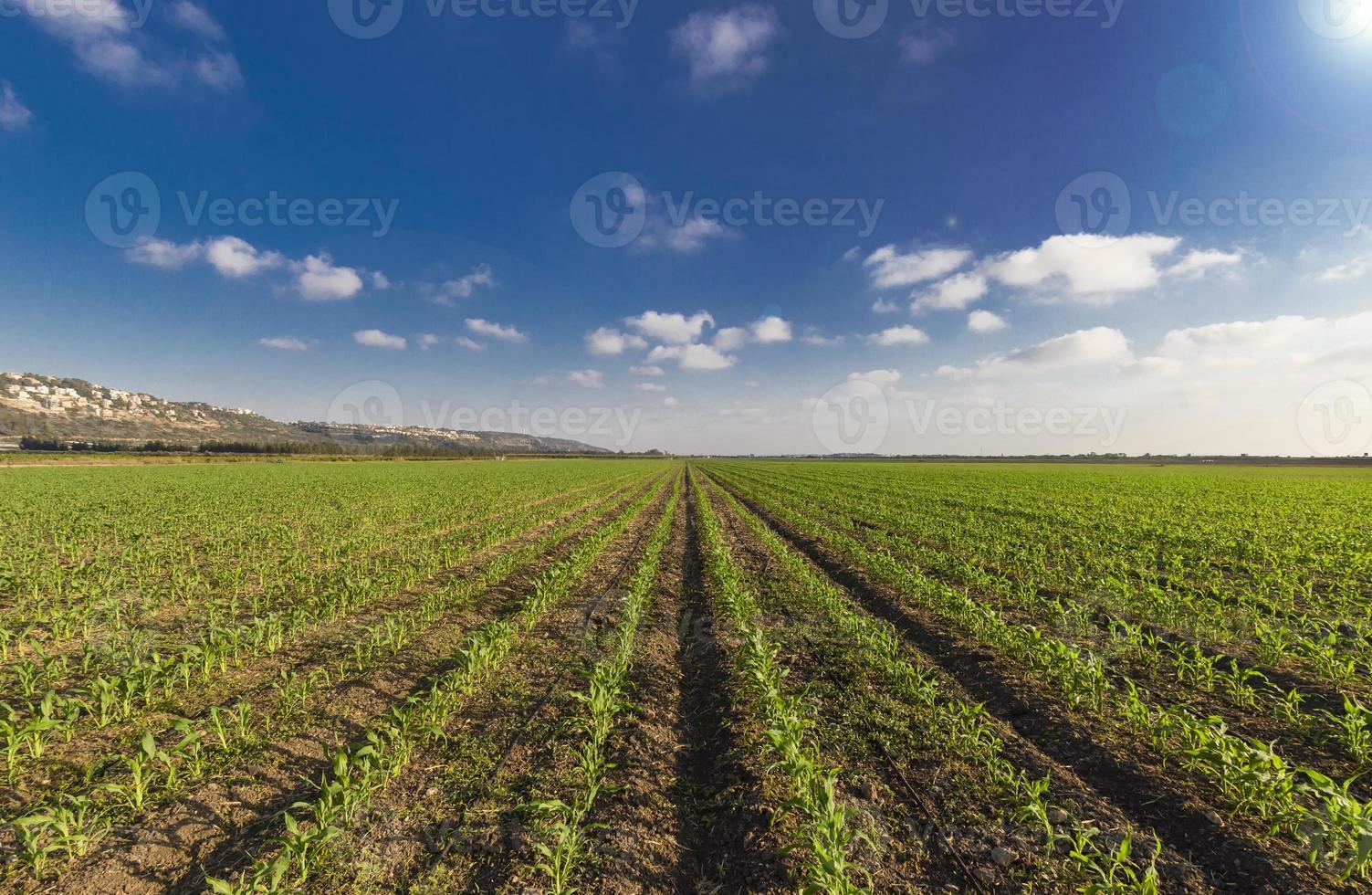 grüner Weizen feilte lue Himmel und Sonnenstrahlen foto