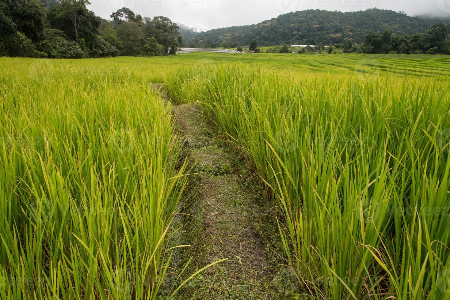 grüne Reisfelder im nördlichen Hochland von Thailand foto