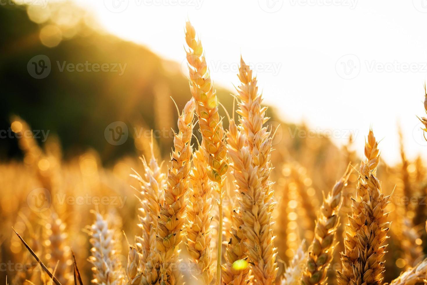 Hintergrund der Reifung der Ohren des gelben Weizenfeldes foto