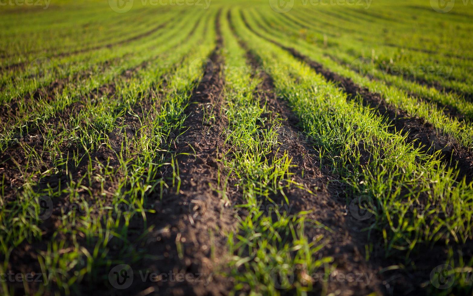 grünes Feld mit Pflänzchen foto