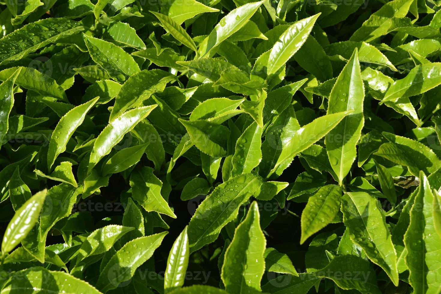 schließen Sie grüne Teeblätter foto