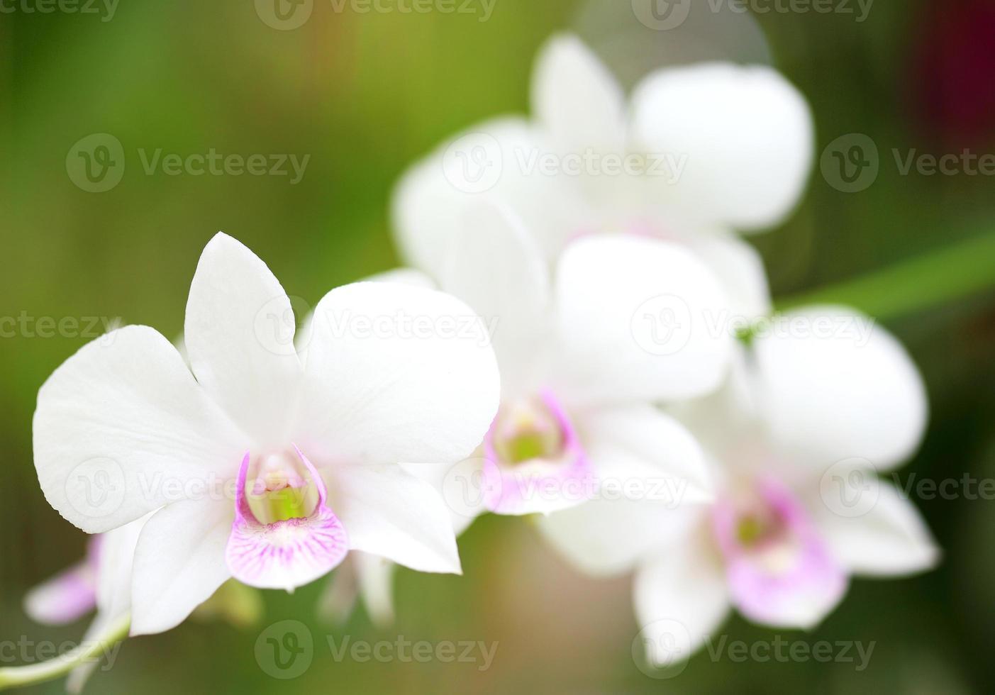 Nahaufnahme auf weiße Orchidee im Garten foto