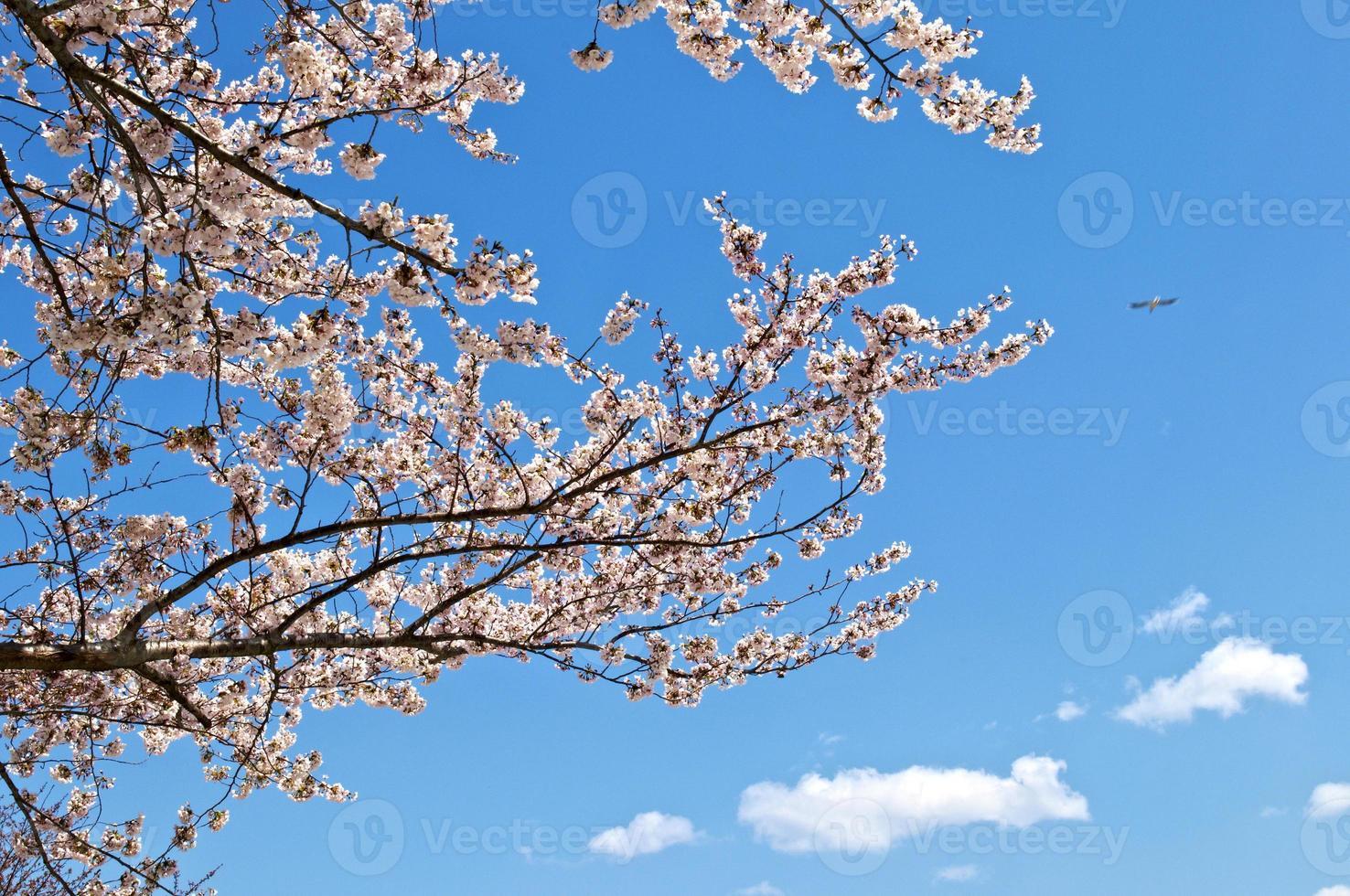 Kirschblüte in Tokio foto