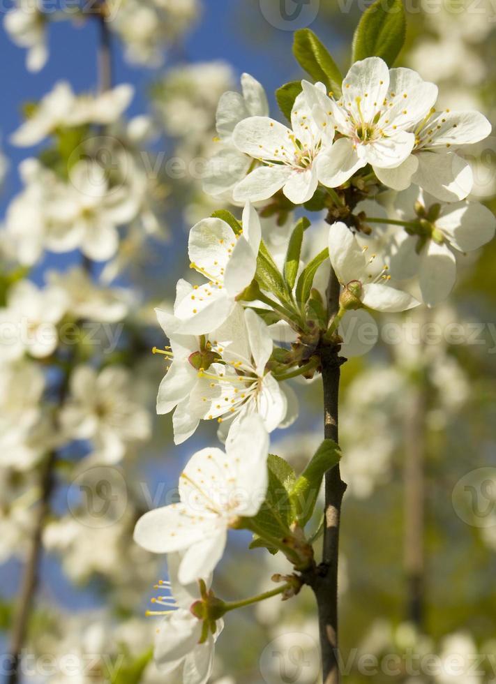 Kirschbäume foto