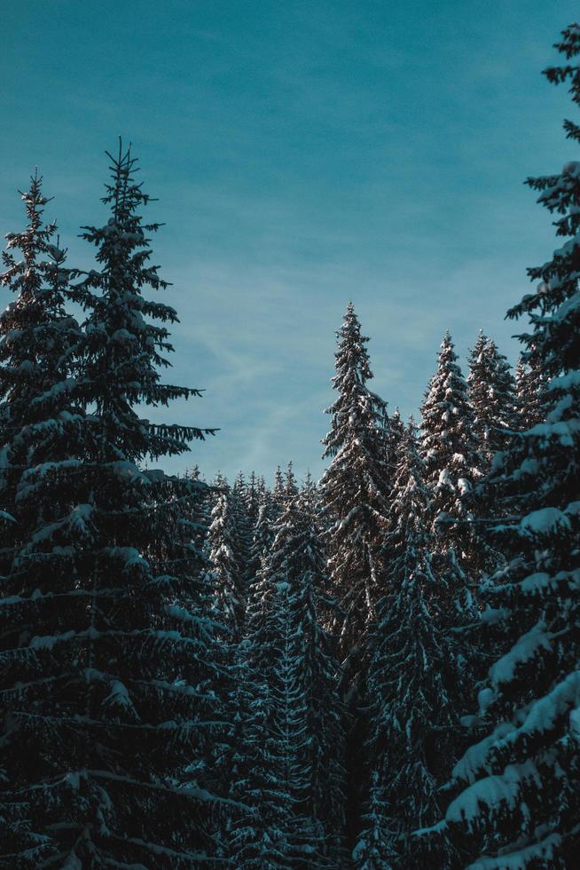 schneebedeckte Kiefern foto