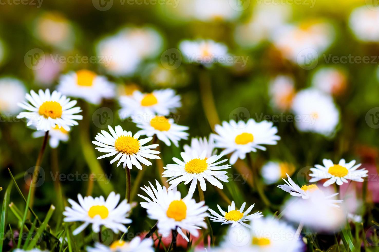 weiße Gänseblümchen Nahaufnahme Gruppe Frühling Wildblumen foto