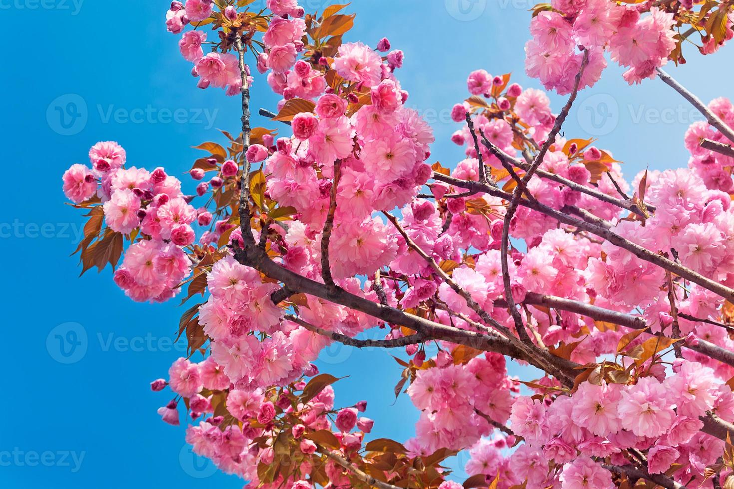 rosa Kirschblüten am schönen Frühlingstag foto