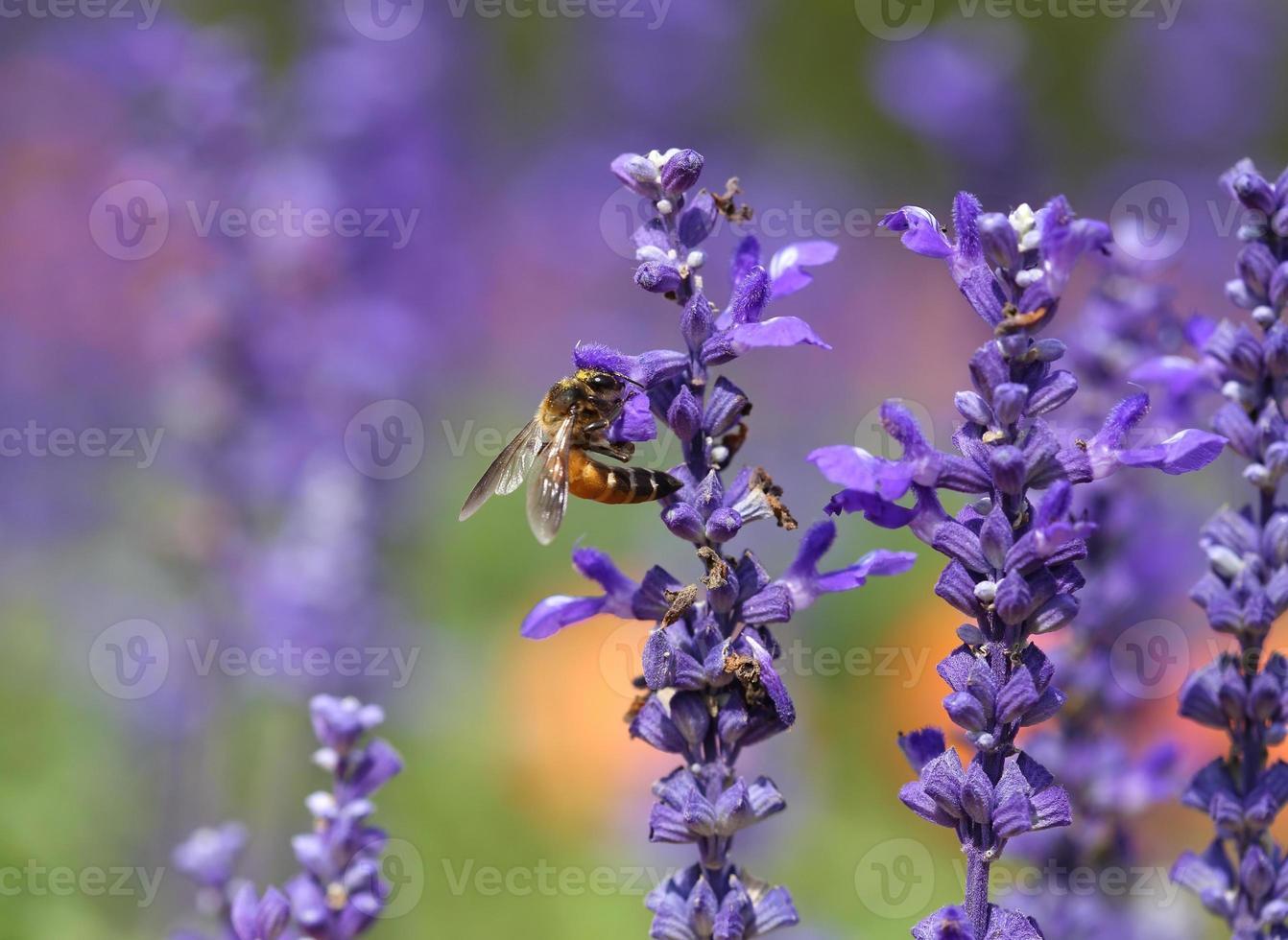 Lavendelblume mit Biene foto