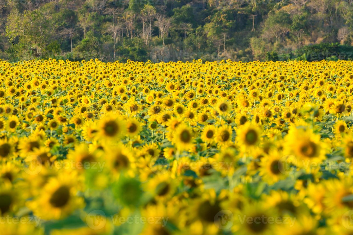 Sonnenblumenfarm foto