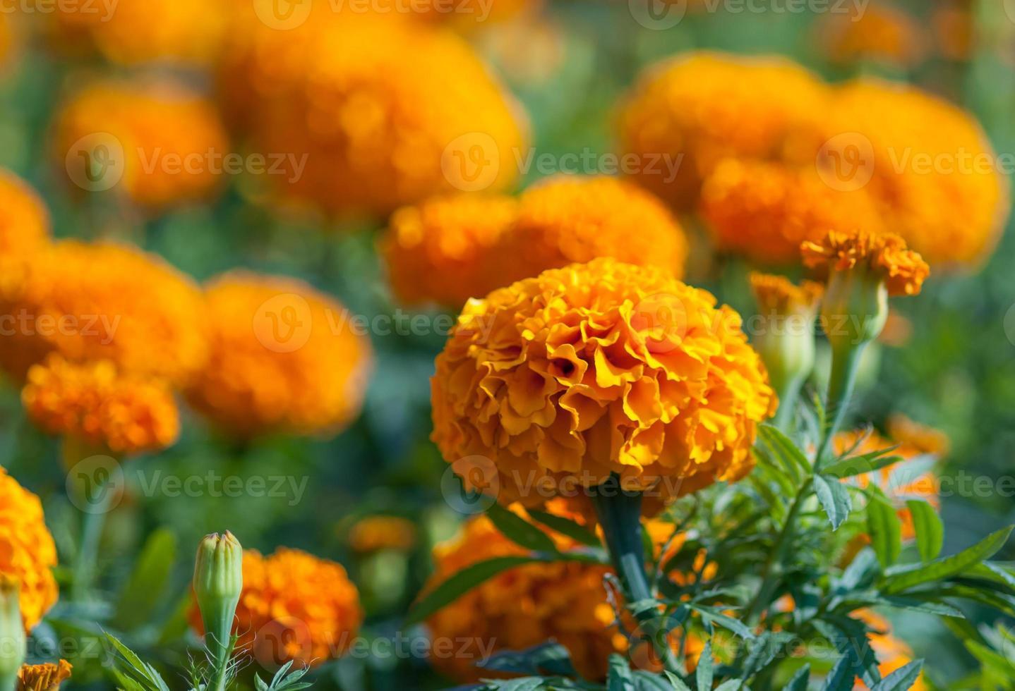 gelbe Blume, Ringelblume foto