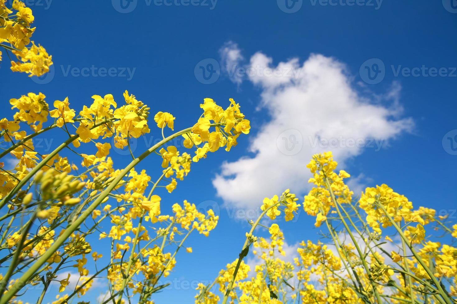 Rapsblüten und blauer Himmel foto