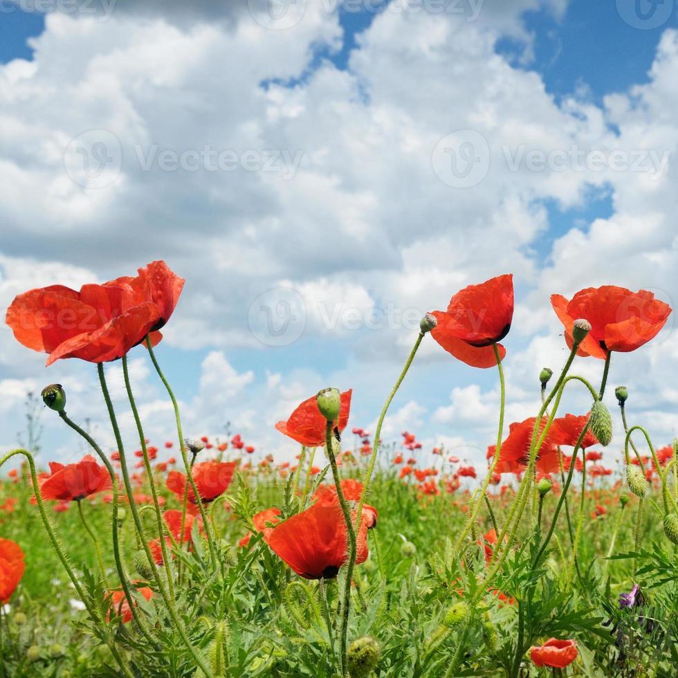 wilde Mohnblumen und blauer Himmel foto