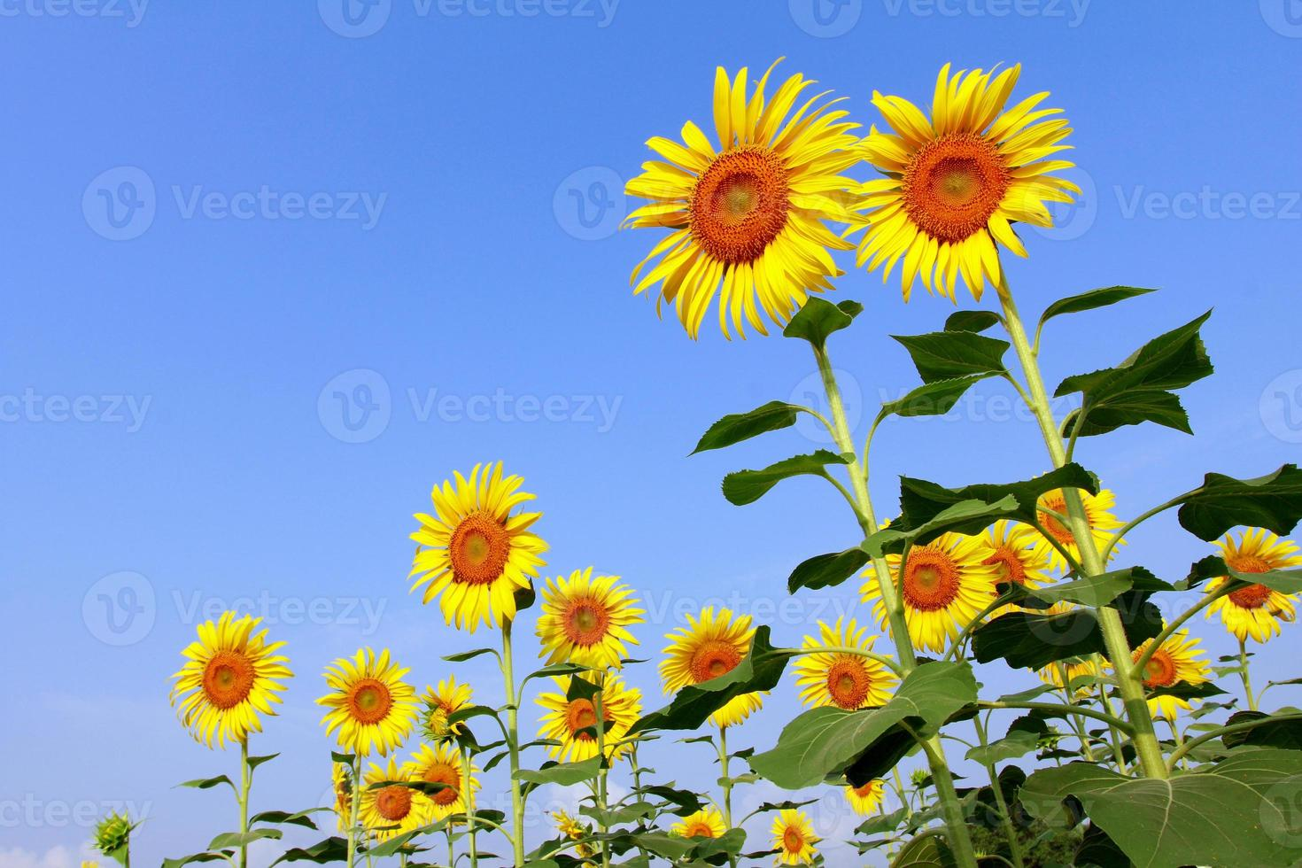 Sonnenblumenfeld mit blauem Himmel foto
