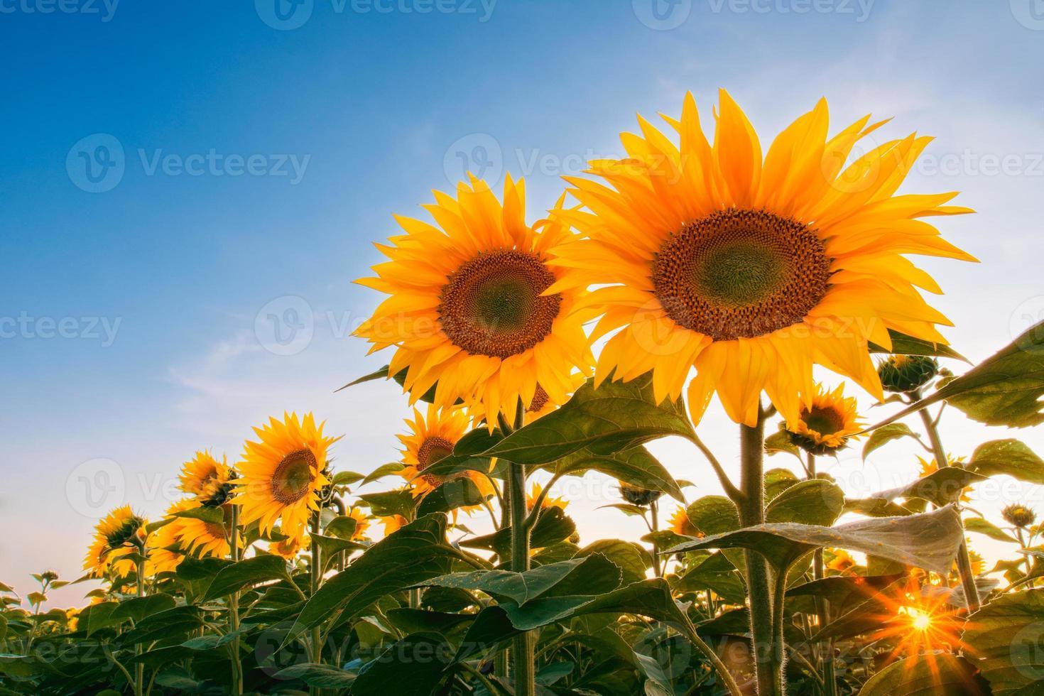 Feld der Sonnenblumen unter Sonnenuntergang Himmel foto