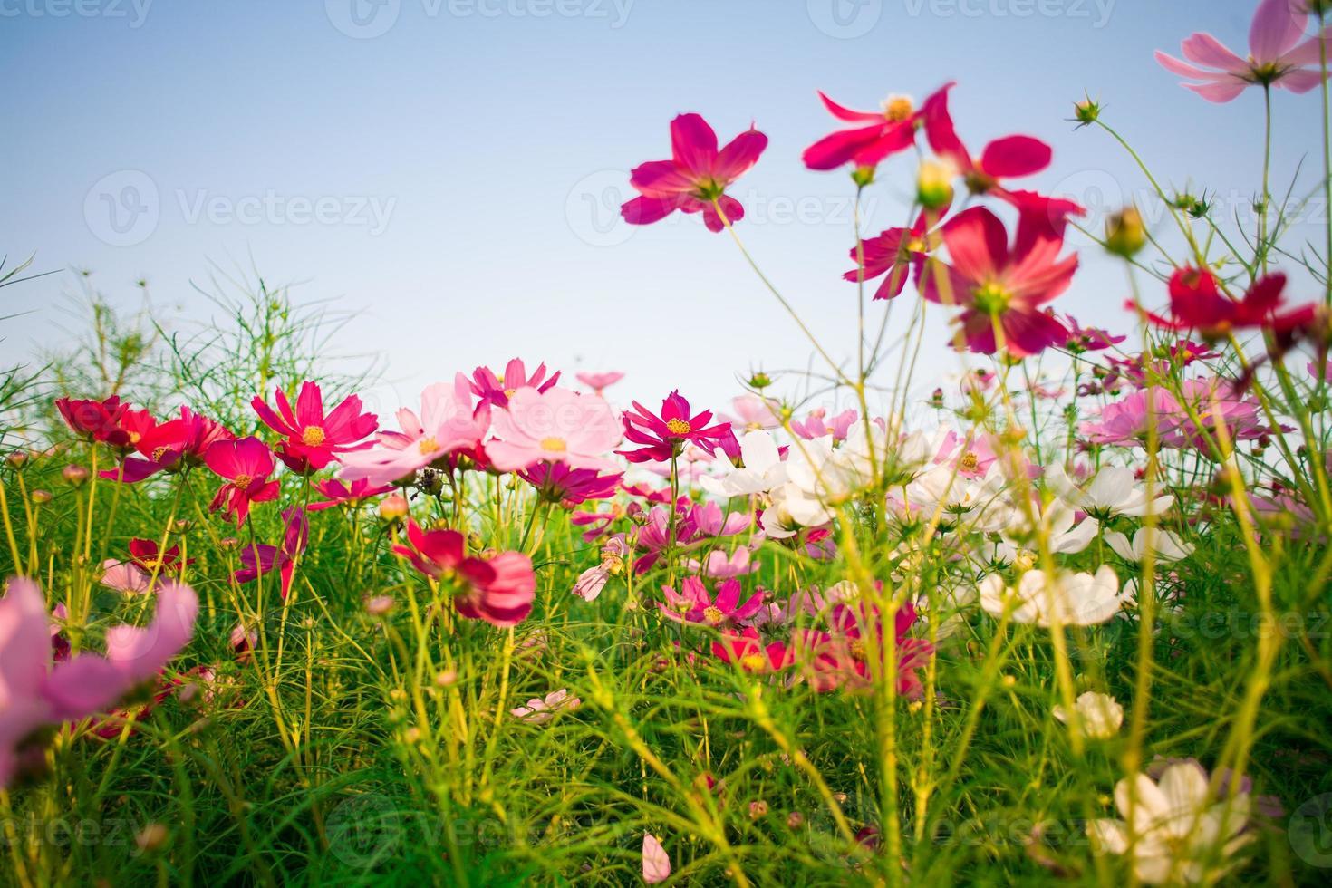 schöne Kosmosblumen auf Himmelhintergrund foto