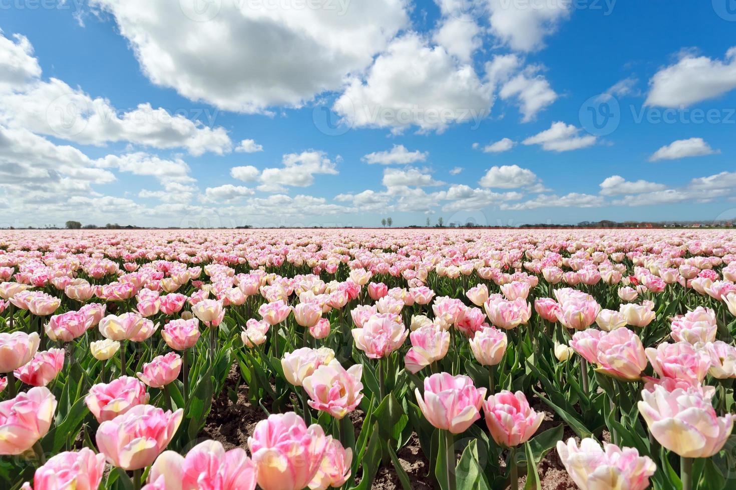 rosa Tulpenfeld und blauer Himmel foto