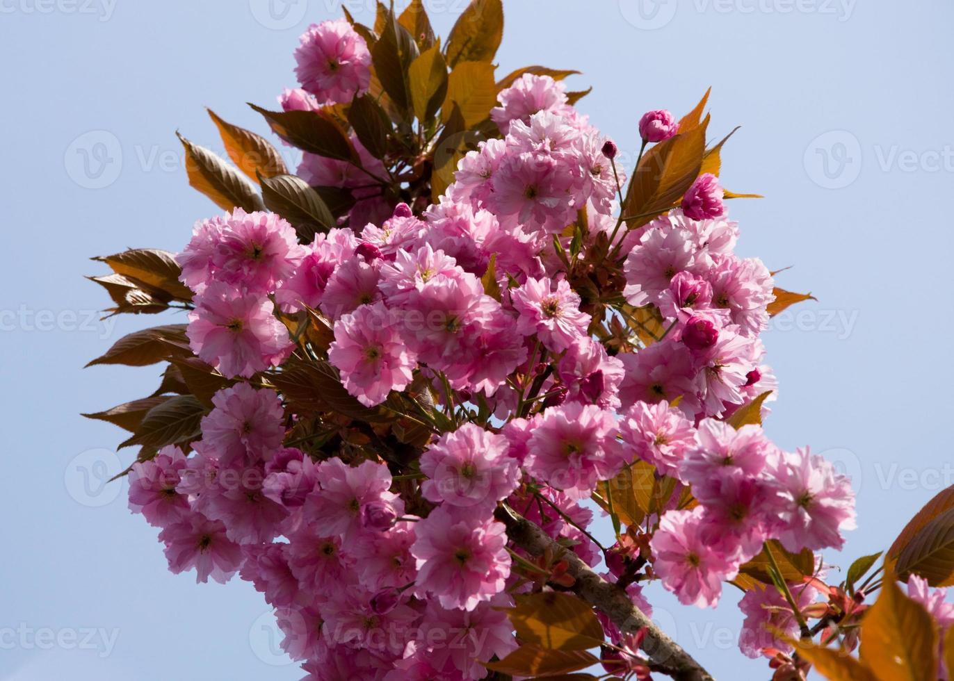 Frühlingskirschblüte gegen blauen Himmel foto