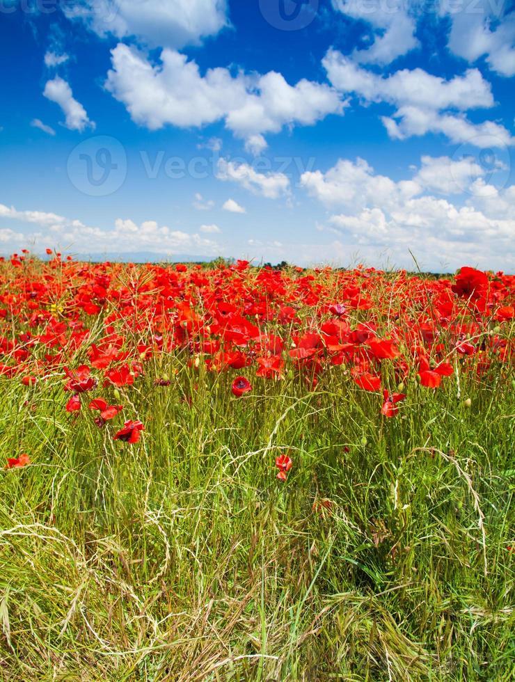 rote Mohnblumen unter Frühlingshimmel foto