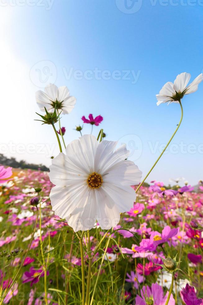 weiße Kosmosblume auf Feld mit Himmel foto