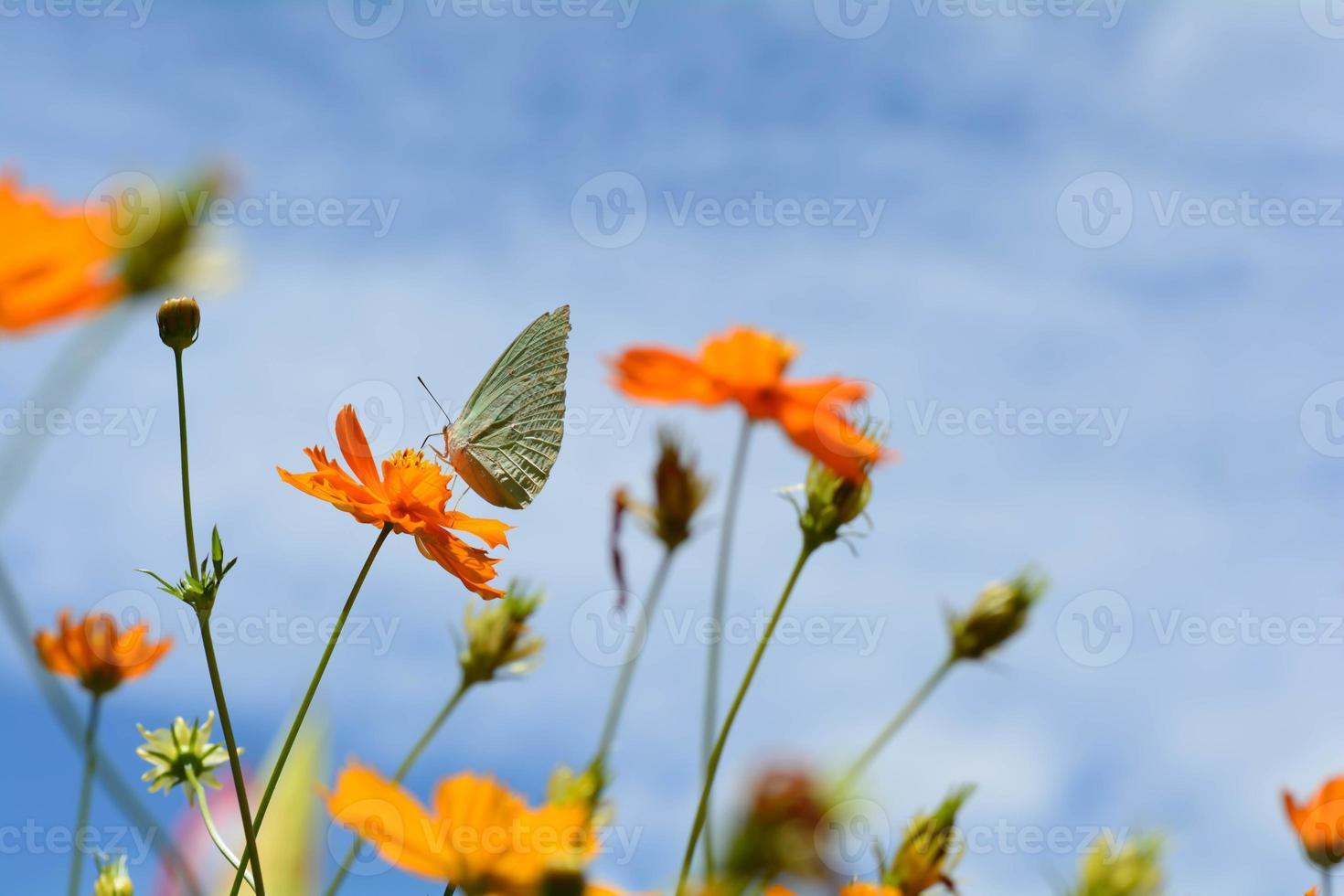 Schmetterling mit gelben Blumen und hellem Himmel foto