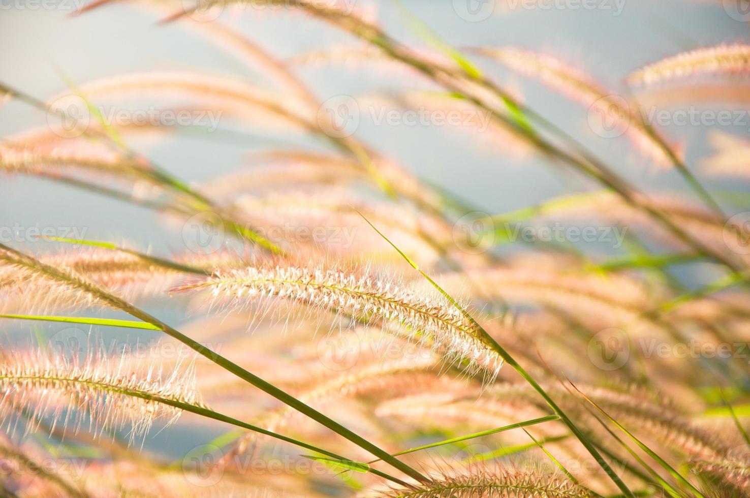 verschwommene graue Grasblume auf blauem Himmel foto