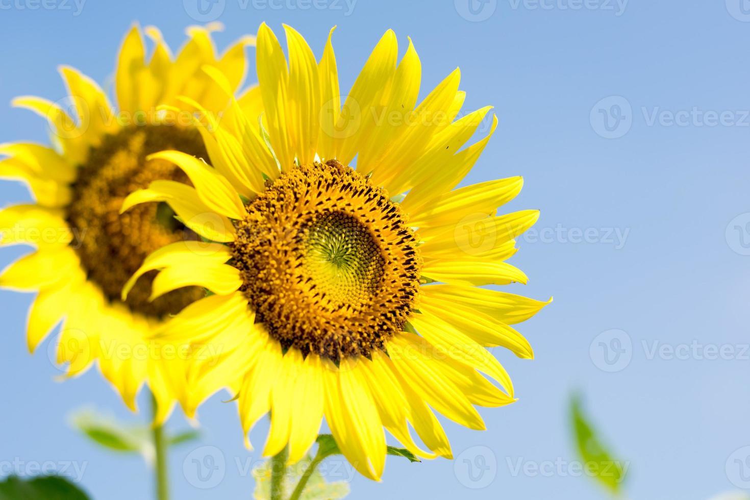 Nahaufnahme der Sonnenblume mit Himmelhintergrund foto