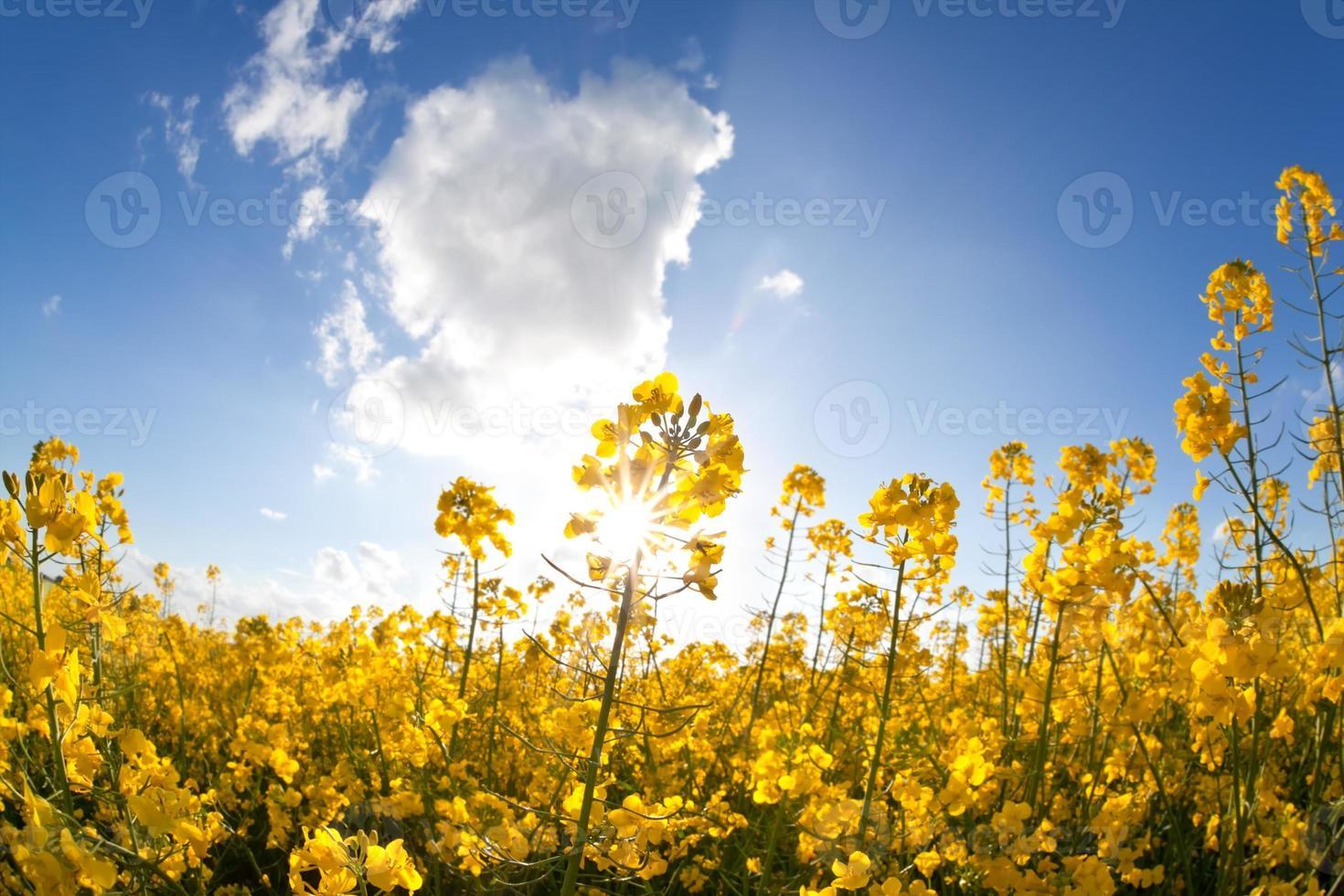 Rapsölblumen und Sonnenstrahlen über blauem Himmel foto