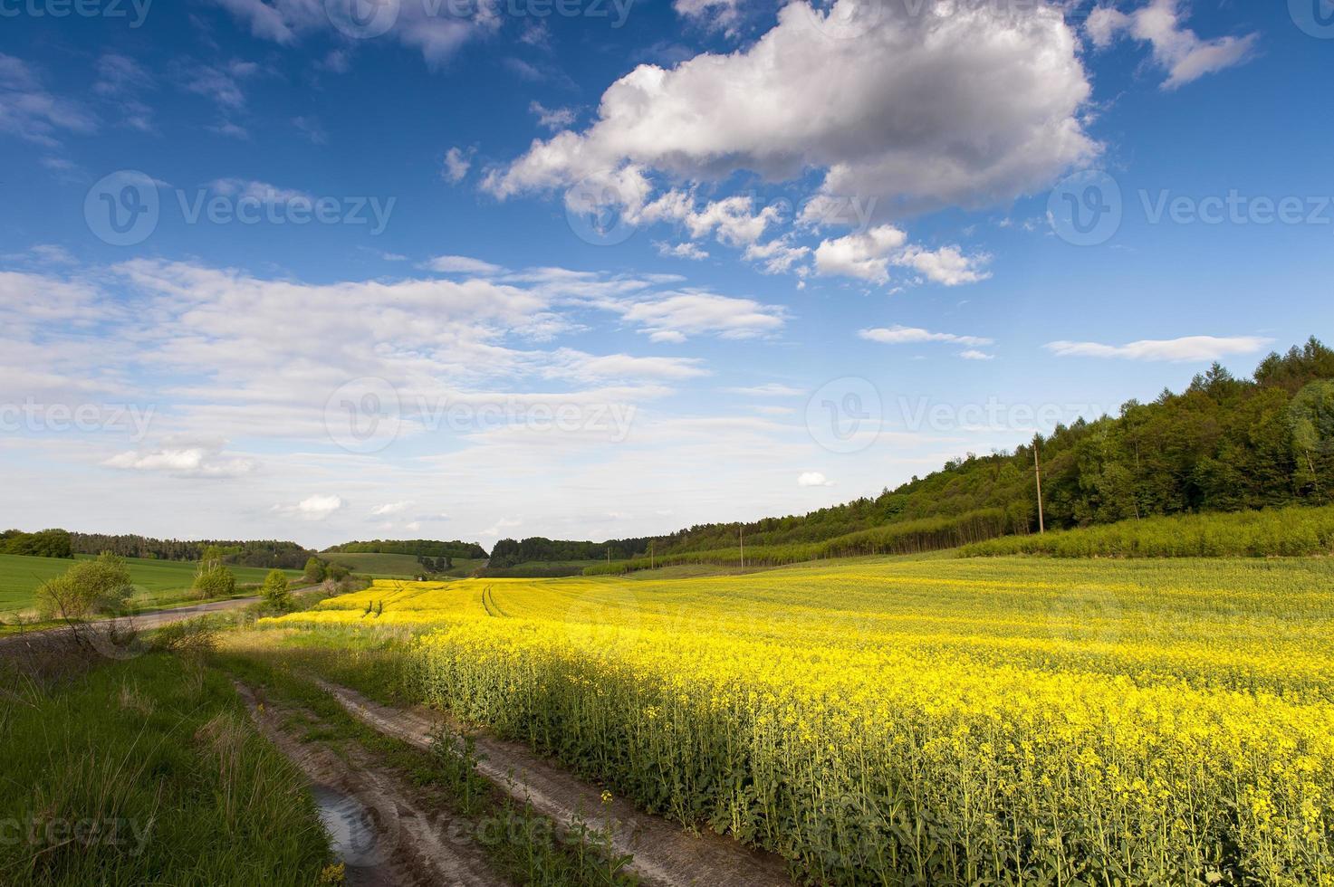 blauer Himmel und gelbes Feld foto