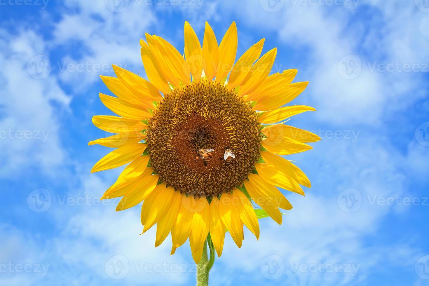 schöne Sonnenblumen mit strahlend blauem Himmel foto