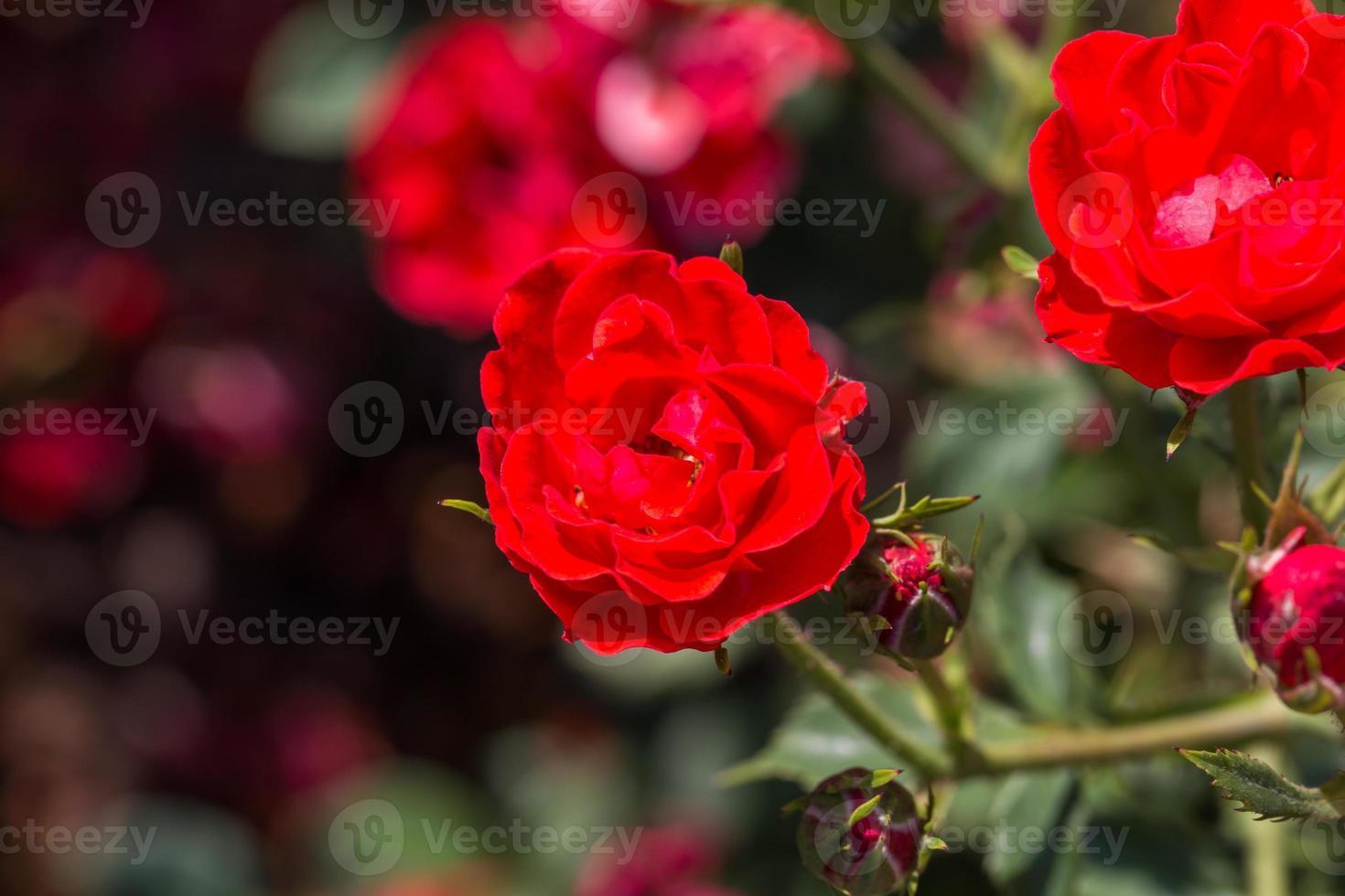 rote Rosen auf sonnigem Himmelhintergrund foto