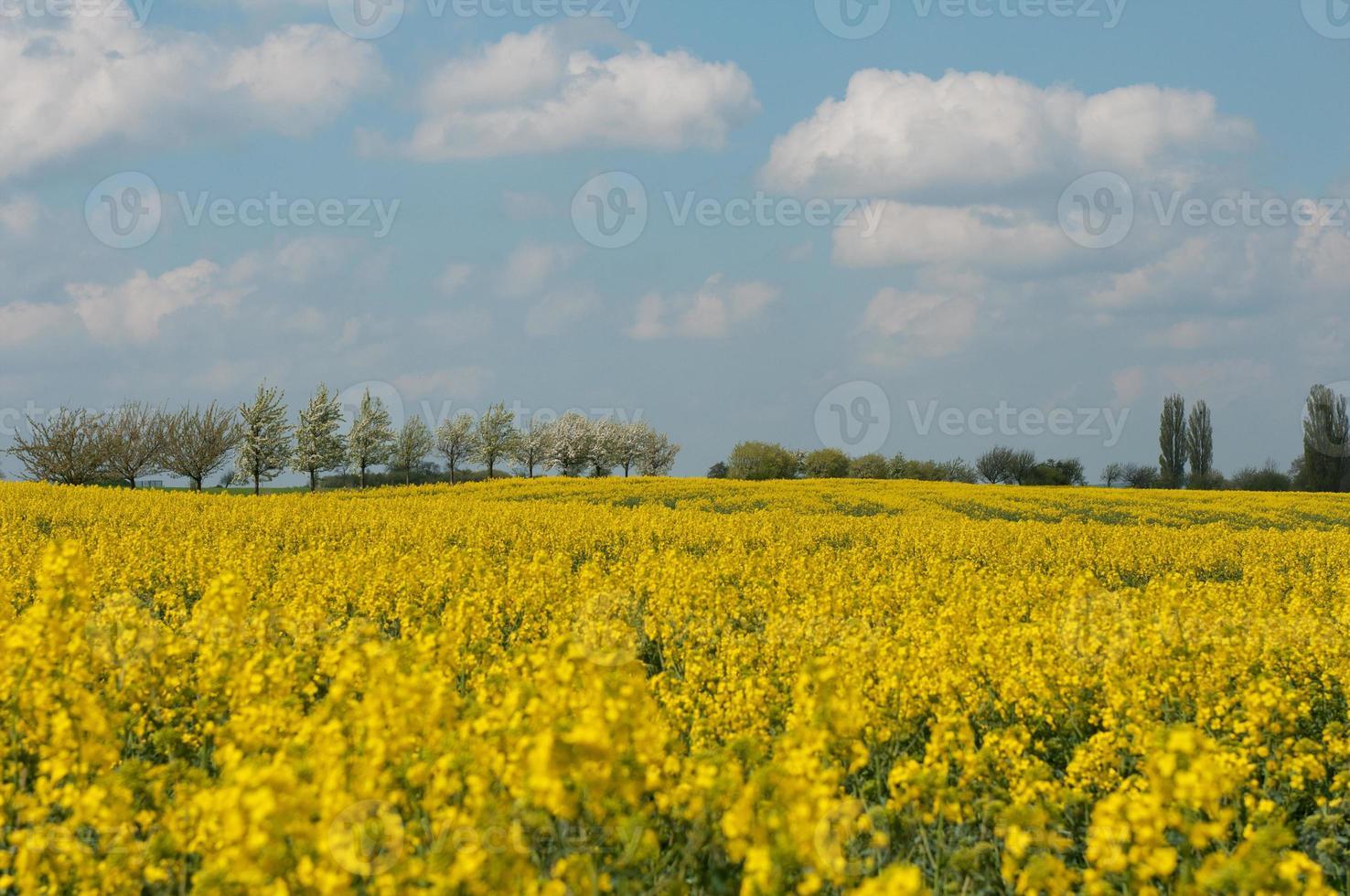 Rapsblüten mit blauem Himmel und Wolken. foto