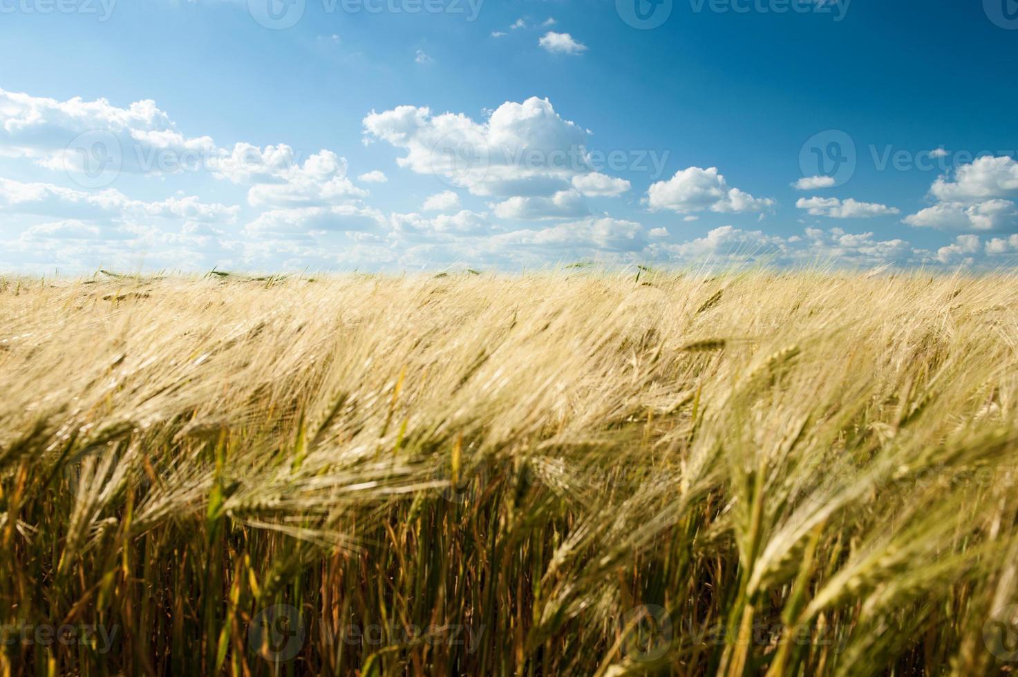 Sommerlandschaft des Weizenfeldes und des blauen Himmels foto