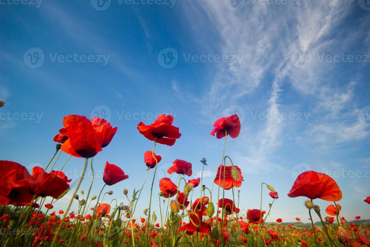 Mohnfeld mit blauem Himmel auf Hintergrund foto
