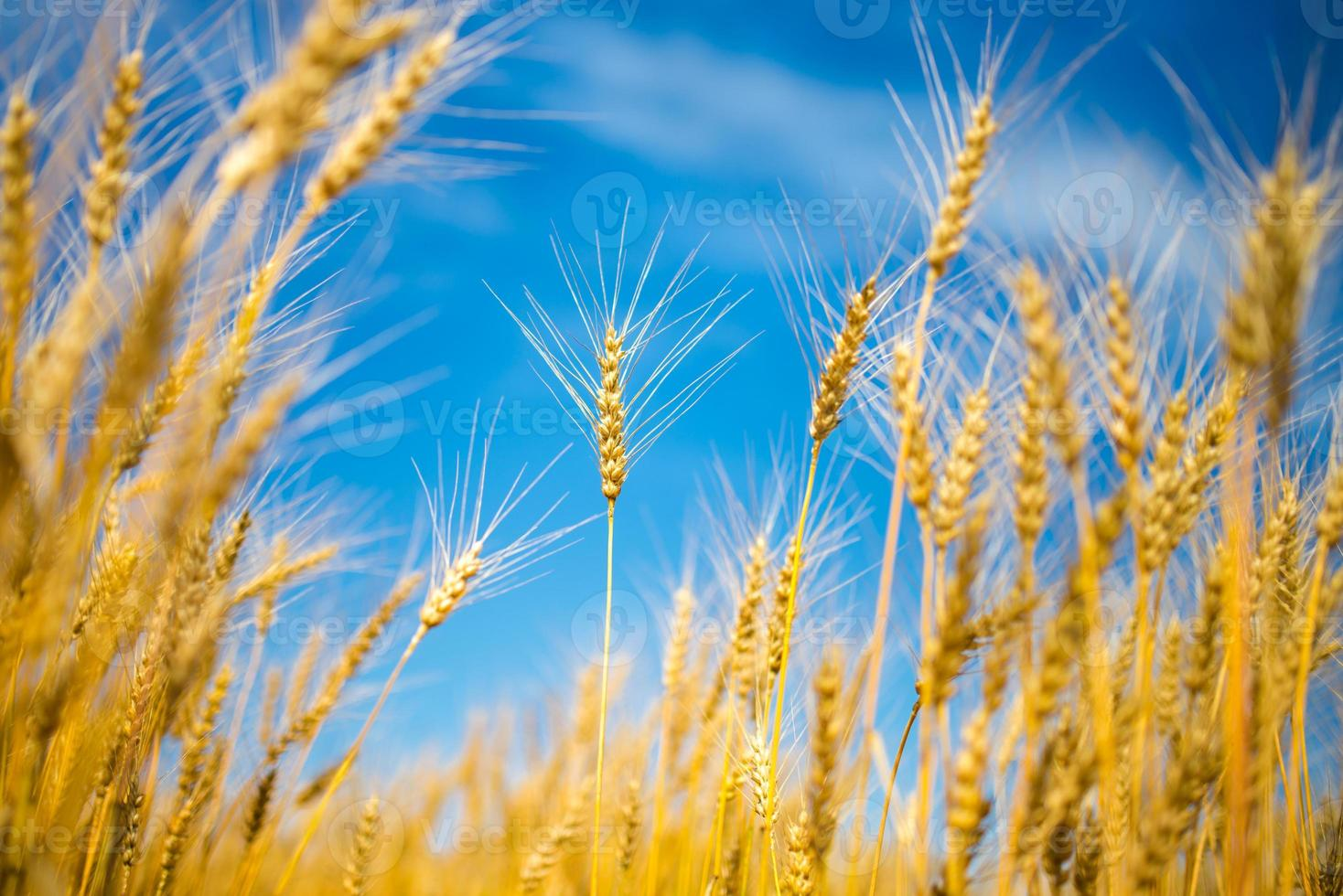 Nahaufnahme von reifen Weizenähren gegen Himmel foto