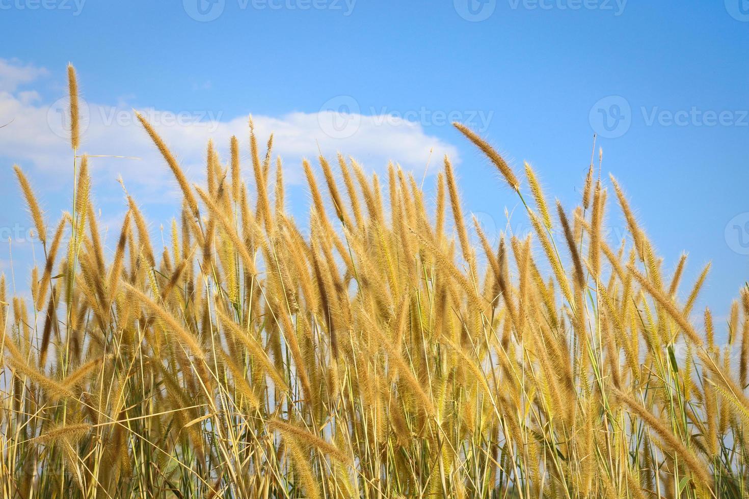 Schilf von Gras unter blauem Himmel mit Wolken foto