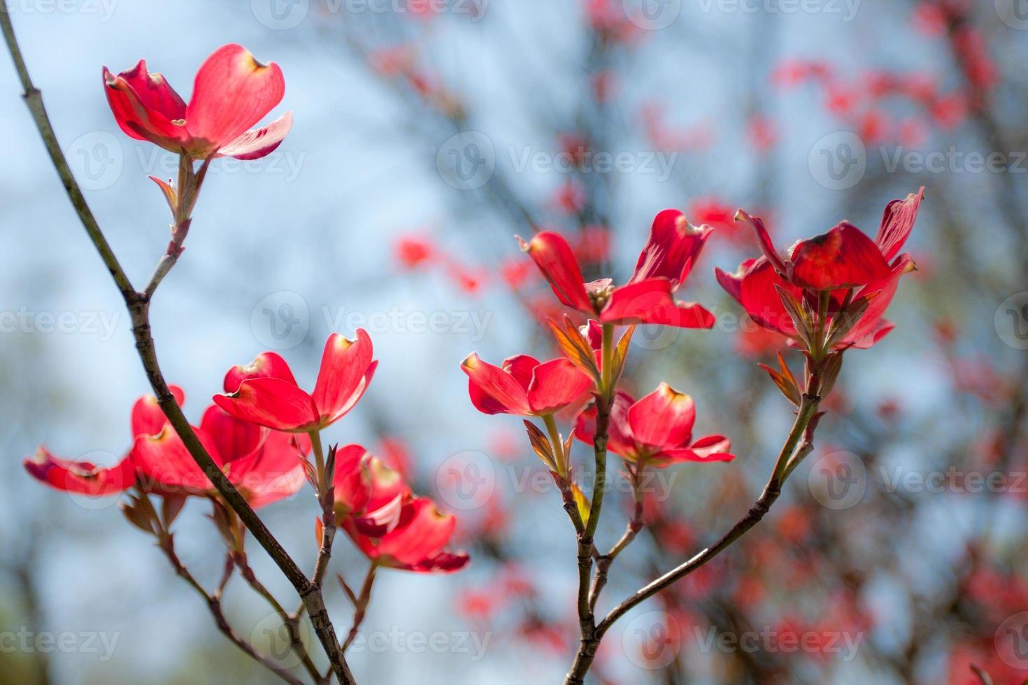 dunkelrosa Hartriegelblüten gegen hellblauen Himmel foto