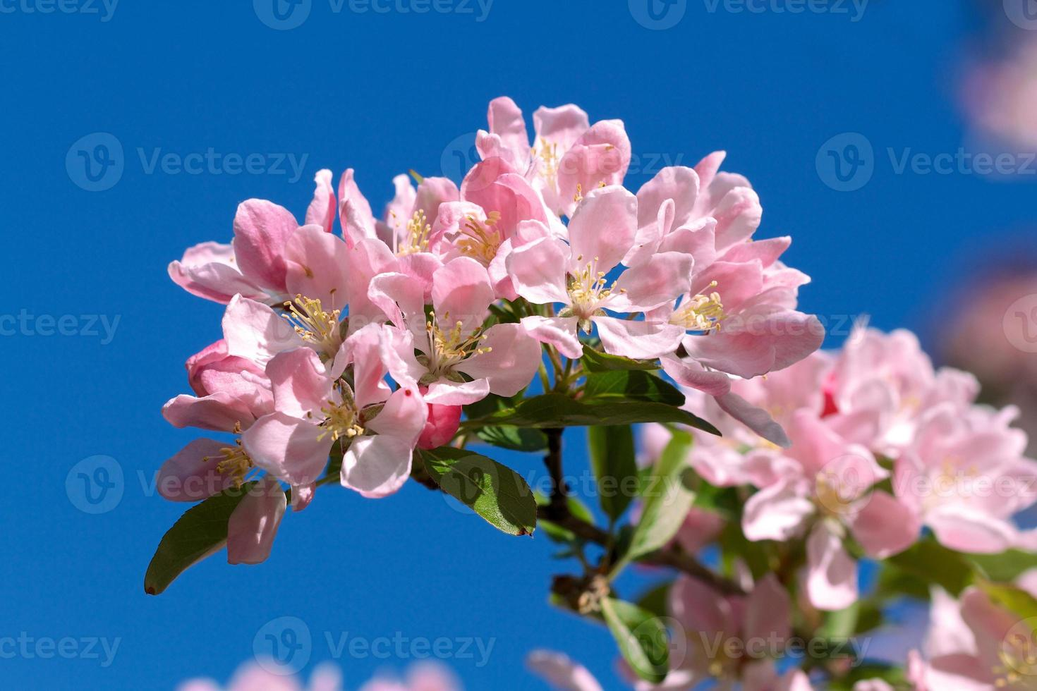 rosa Blüten gegen einen blauen Himmel foto